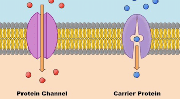 differences of channel protein and carrier protein