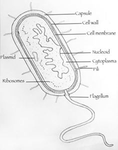 Drawing of prokaryotic cell