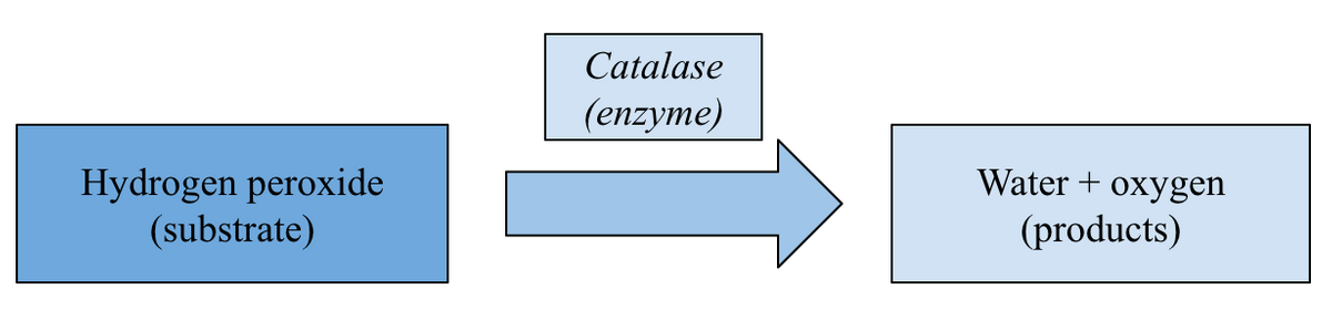 Catalysis of hydrogen peroxide decomposition by catalase enzyme