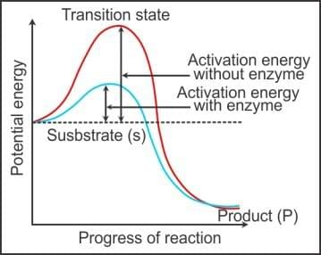 Reduction of activation energy by enzyme