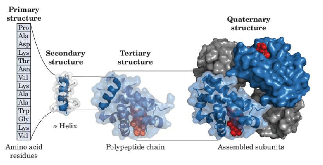 Primary to quaternary structure of proteins