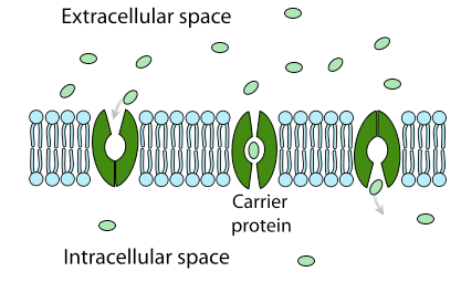 Carrier protein facilitated diffusion