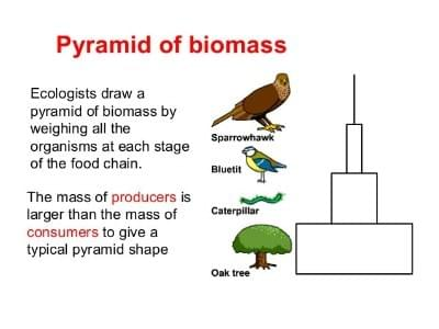Tutte, Food Web, Food Chains , Pyramid Of Number, Pyramid Of Biomass