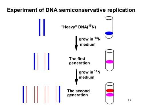 DNA replication experiment semi-conservative biology , Tutte