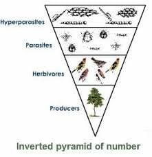 Food Web, Food Chains  ,Tutte  , Pyramid Of Number, Pyramid Of Biomass