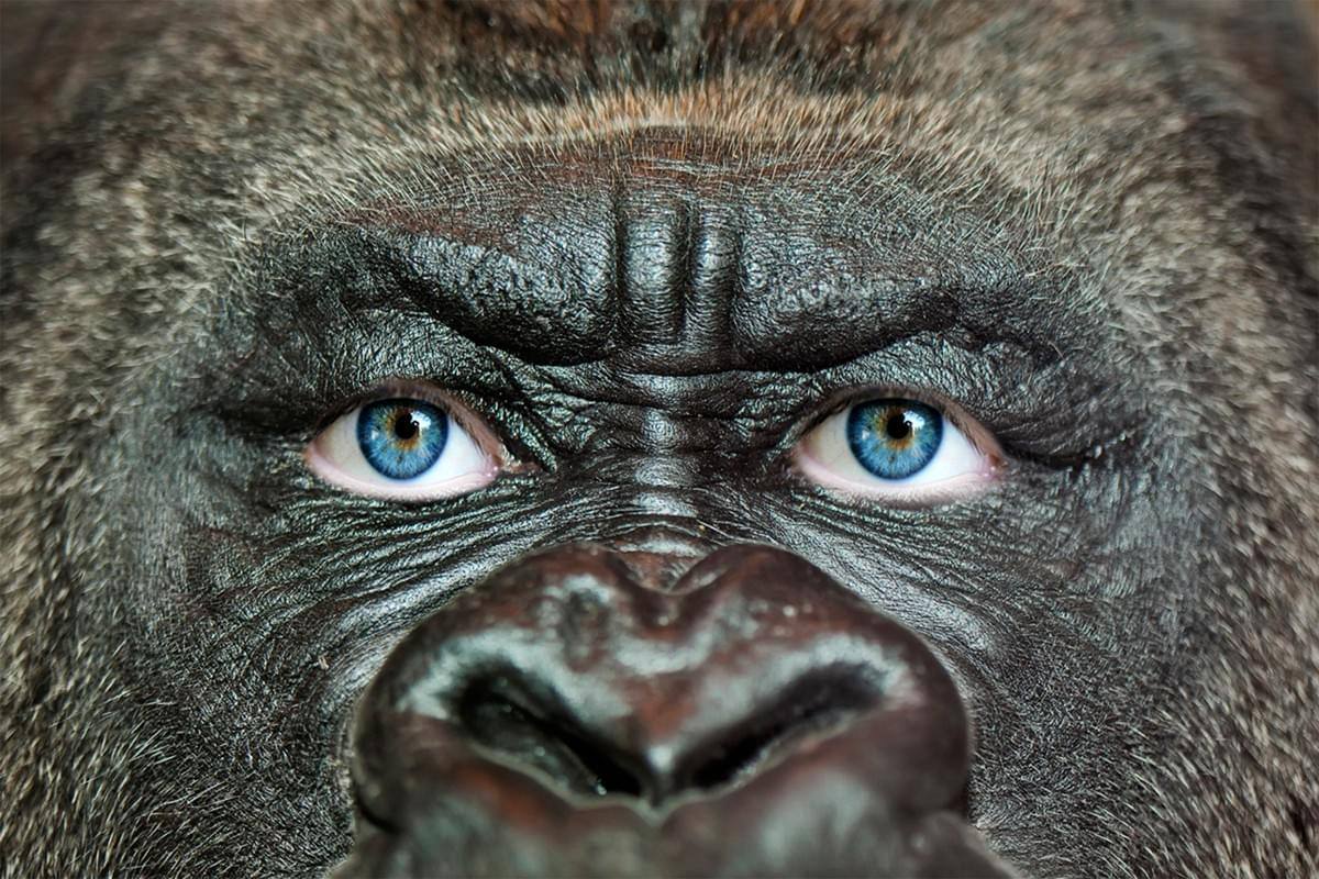 This image crops and frames the face of a great ape, and replaces its eyes with those of a human being