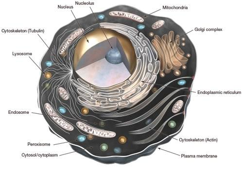 A step back into high school biology  Our cells contain a nucleus and a variety of membrane-bound organelles all enclosed by what's called the plasma membrane. Different organelles carry out different functions but there is one that we are particularly interested in on the topic of autophagy, and that is the lysosome.
