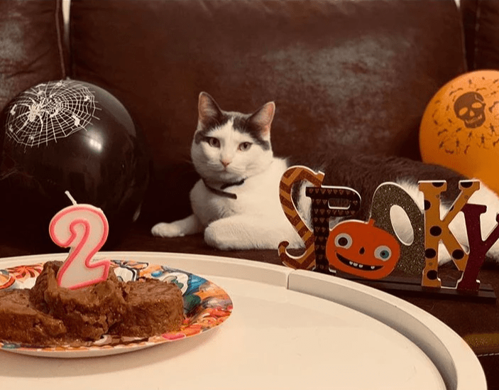 "White and gray cat sits behind birthday cake of cat food and sign that says ""Spooky"""