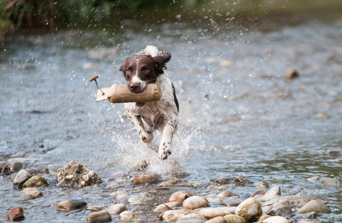 CD Dog training Gun Dog Norfolk
