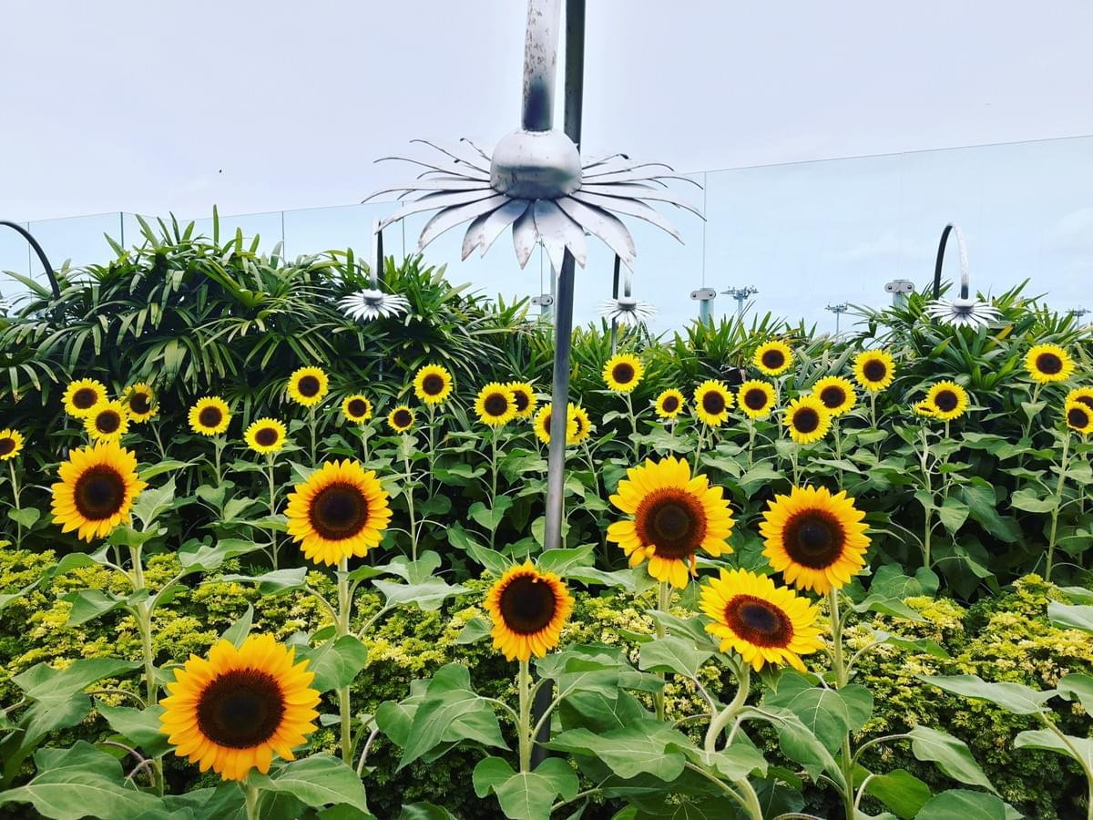 Sunflower Garden at Changi International Airport, Make Most Of Your Transit Time At CHANGI Airport.