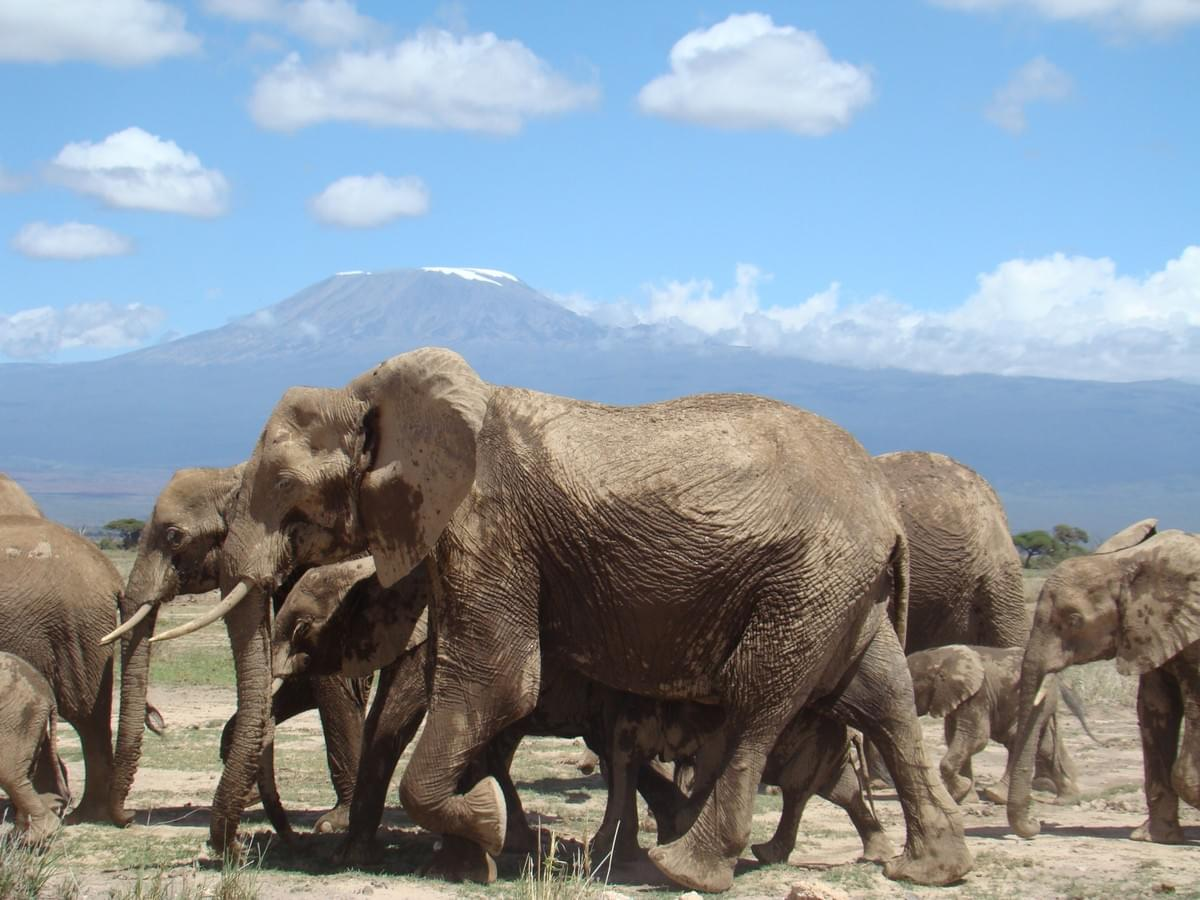 Elephants in Amboseli National Park, near Mt. Kilimanjaro