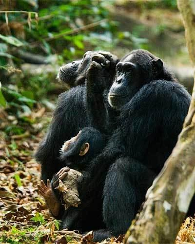 Chimpanzees in Mahala, Tanzania