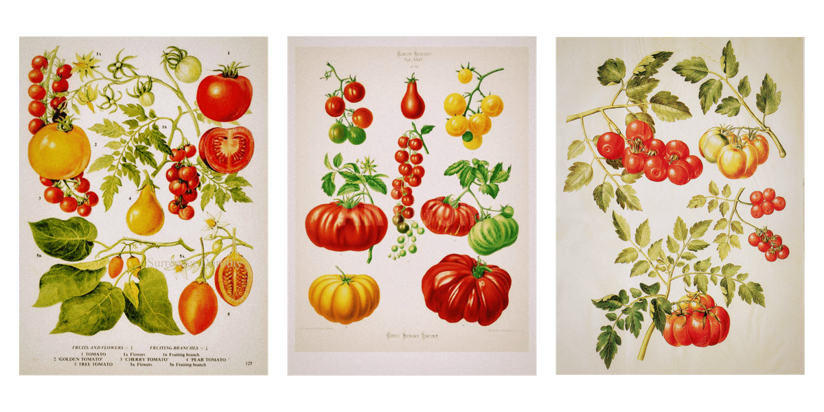 Crédits photos: VintageInclination on etsy.com | Wiesengenuss - blogger | Tomatoes illustration - circa 1659
