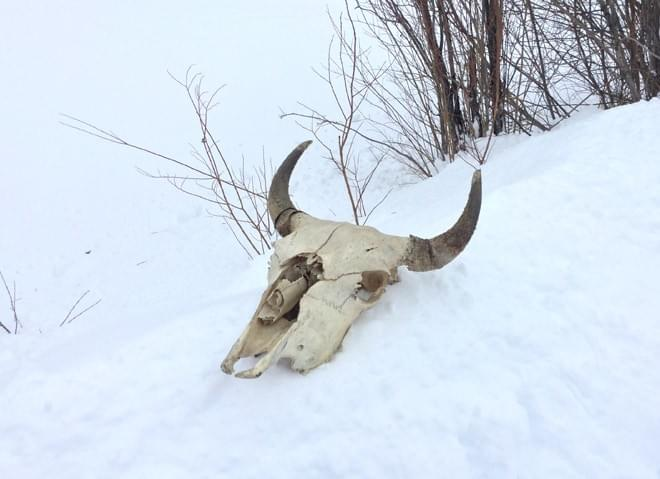 Chilcotin Bones / Bison Skull. Photo: Nicola Finch