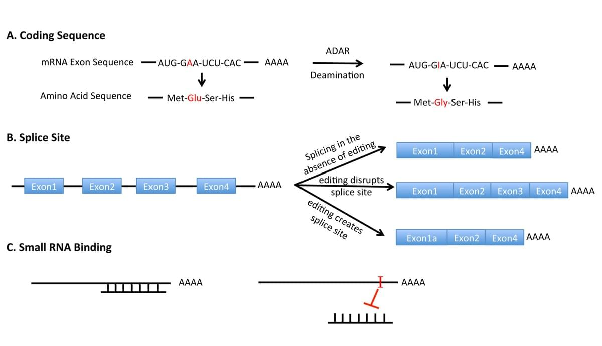 Impacts of A-to-I editing on Gene Expression, Image from Deffit and Hundley, WIREs RNA, 2016