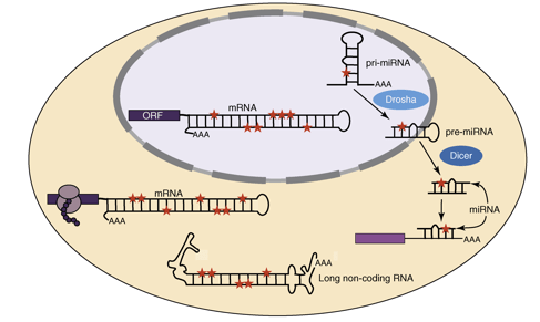 RNA Editing in cellular RNAs, Image from Hundley and Bass, TiBS, 2010