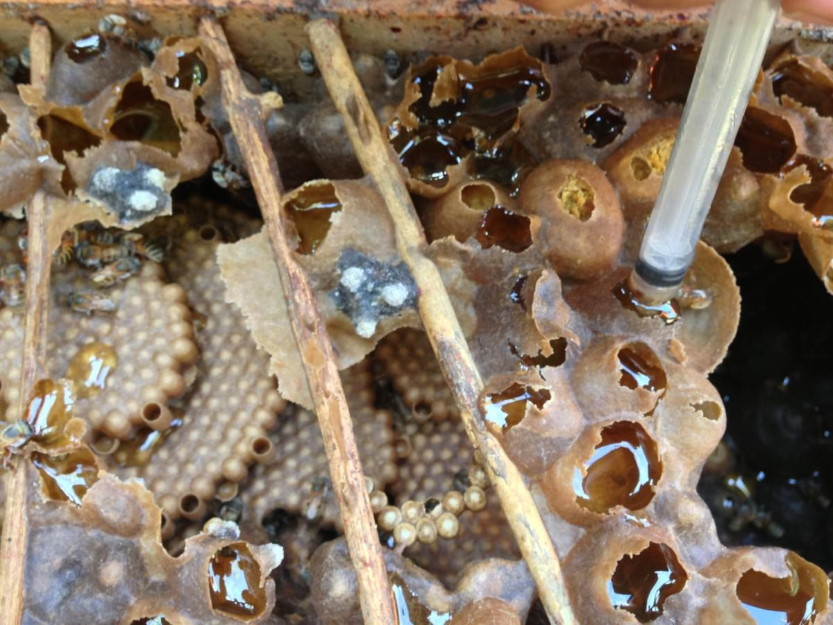 Stingless Melipona Bee Honey