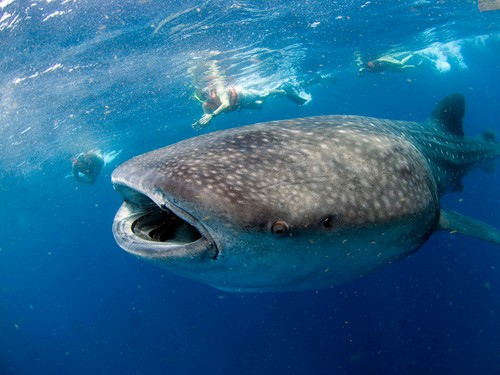 NADO CON TIBURON BALLENA / SWIM WITH WHALE SHARK