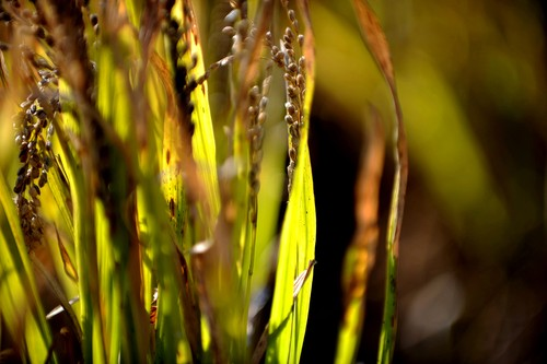 Golden Rice Fields 2
