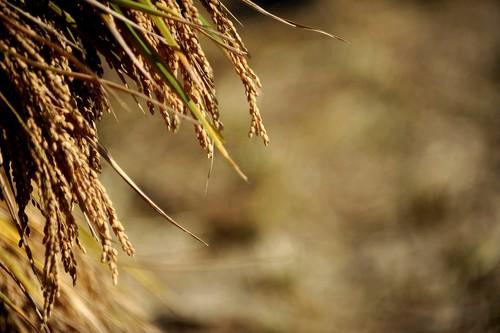 Golden Rice Fields 3