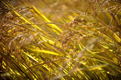 Golden Rice Fields 4