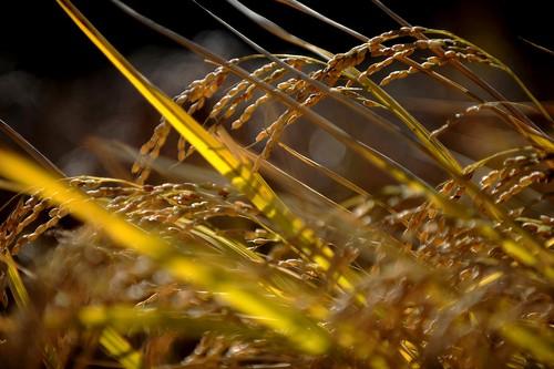 Golden Rice Fields 5