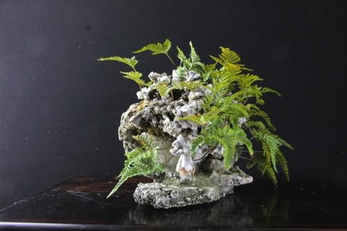 猫の手 石化シノブ 持込古い 創作鉢底より20㎝高