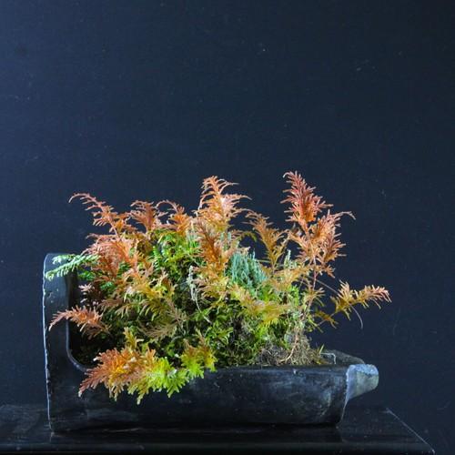 古巴瓦 コガネシダ(黄金シダ) 左右27cm